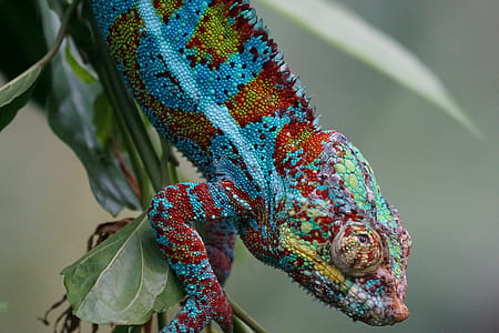 blue and red cameleon