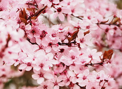 selective photography of pink cherry blosom