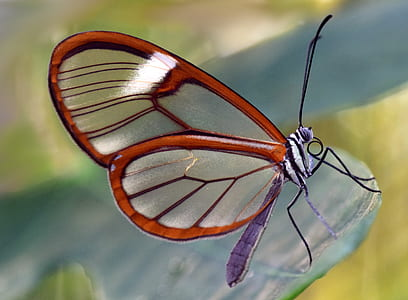 close-up photography of glasswing butterfly green leaf plant
