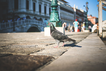 Pigeon in Venice Streets