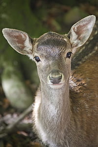 photo of doe deer