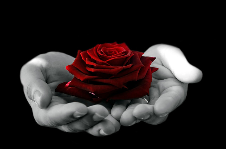 Royalty-Free photo: Hands holding red rose   PickPik