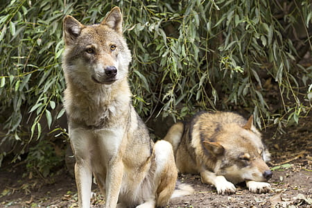 two brown wolves