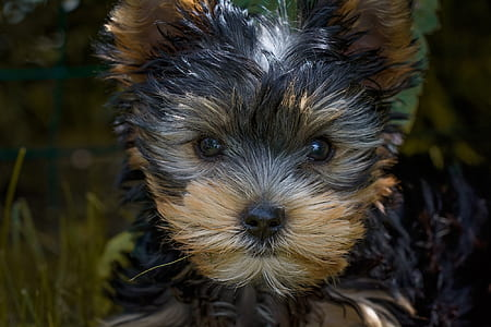gray and brown Yorkshire terrier
