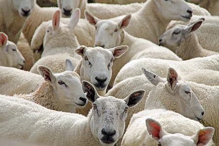 photo of white sheeps