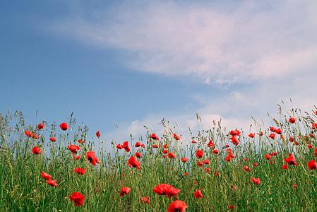 red petaled flower field under clear blue sky