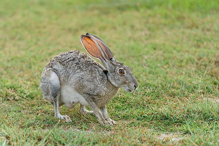 gray hare on green grasses