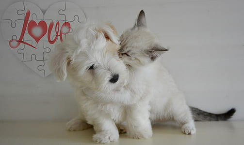 wirehaired white terrier puppy and kitten