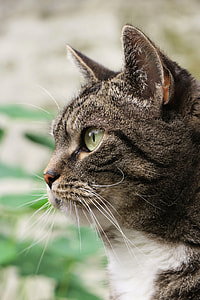 closeup photo of gray and white tabby cat