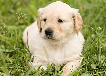 light golden retriever prone lying on grass field at daytime