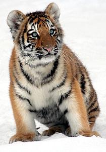 tiger cub on snow