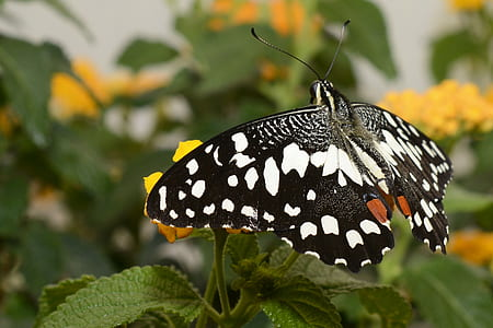 black and white spotted butterfly perching on yellow flower during daytime