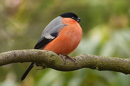 focus photography of Eurasian bullfinch