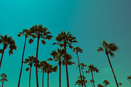 Palm trees in Los Angeles, California