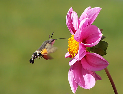 brown and black hummingbird moth in flight near pink petaled flower in closeup photo