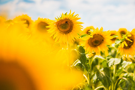 Another Colorful Sunflower Field