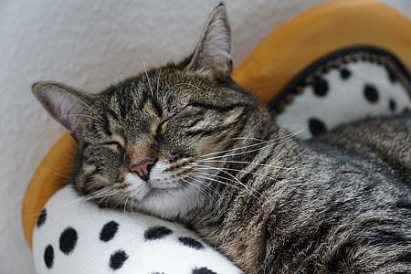brown Tabby cat sleeping on white polka-dot textile