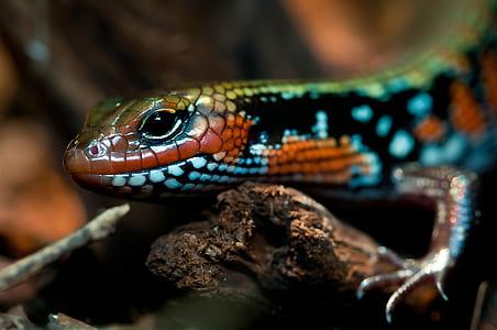 green and blue lizard