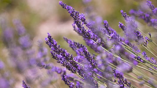 purple lavender flower in close photo