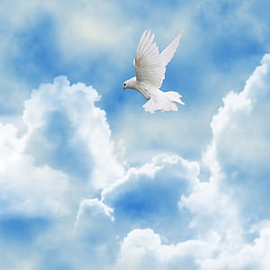 white dove flying on the sky