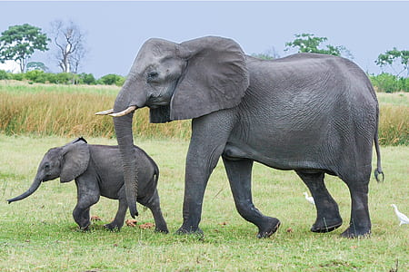 two black elephants walking in the green field