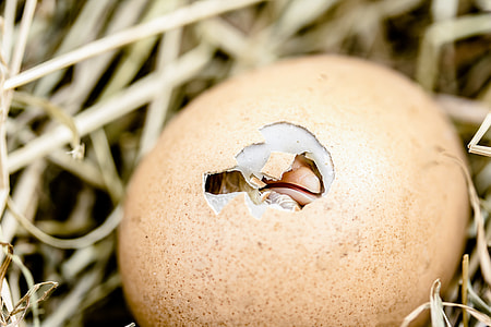 hatching egg on nest