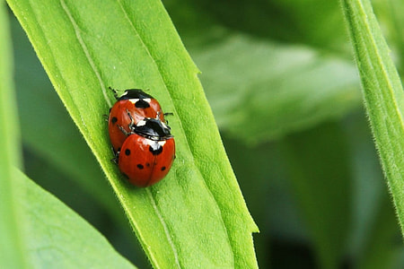 two ladybirds on green leaf