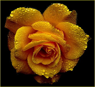 close view of yellow rose with dew drops
