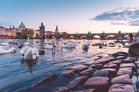 Beautiful Sunset Panorama with Swans and Charles Bridge in Prague
