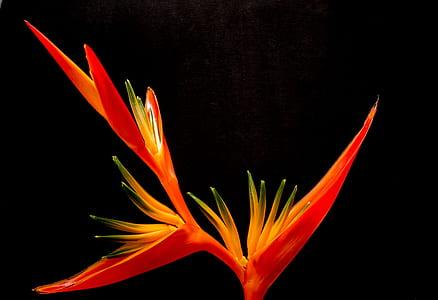 Birds of Paradise flower