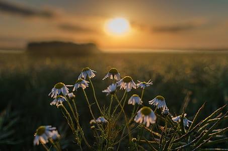 east słonca, flowers, the sun, field