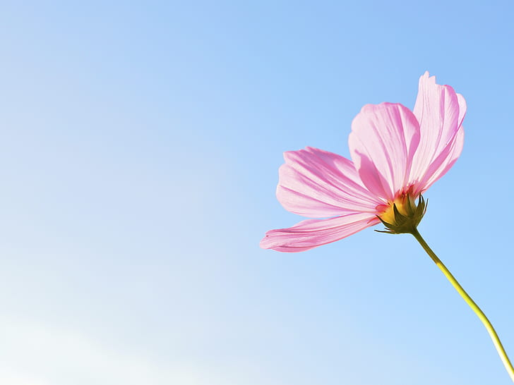 pink cosmos flower closeup photo