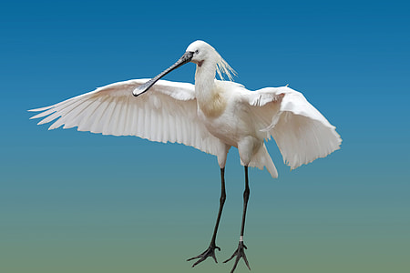 Eurasian spoonbill flying under blue sky during daytime