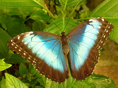 ulysses butterfly on green leaf plant
