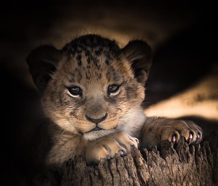 leopard cub laying on brown tree stump