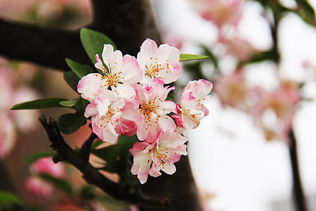 pink cherry blossom flowers selective-focus photo