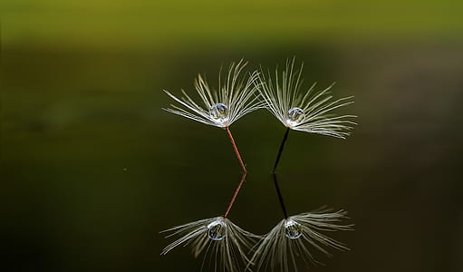 white dandelion reflection on water