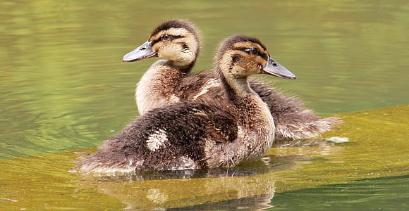 two brown ducklings at the body of water