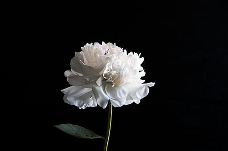 white petaled flower with black background