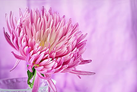 closeup photography of pink spider mum in clear glass vase