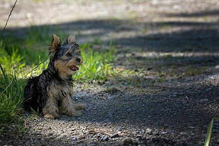 black and brown Yorkshire terrier puppy sitting beside green grasses