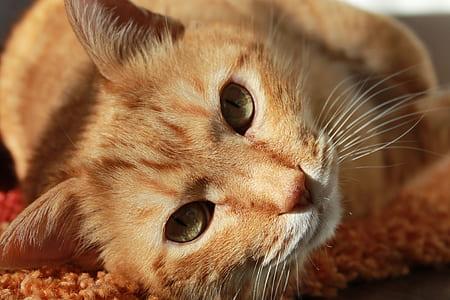 close view of orange tabby cat laying down on orange carpet