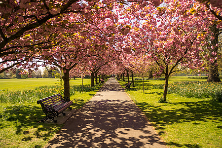 brown wooden bench under pink cherry blossom tree