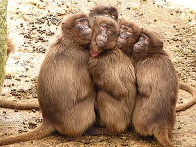 four brown primates