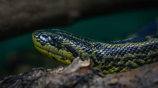 Green and Black Python