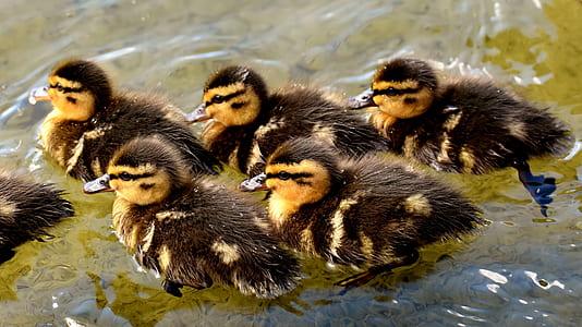 flock of brown ducklings