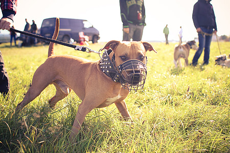 Pitbull Ready for Coursing