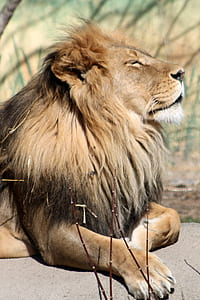 brown lion photo