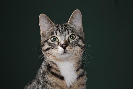 short-fur brown and black cat