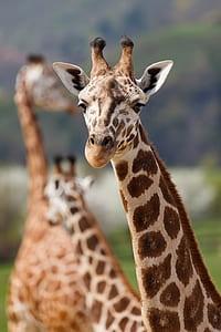 bokeh shot of brown and white giraffe